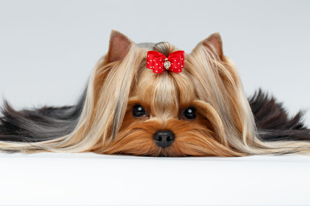 Cute dog wearing a red bow and lying down