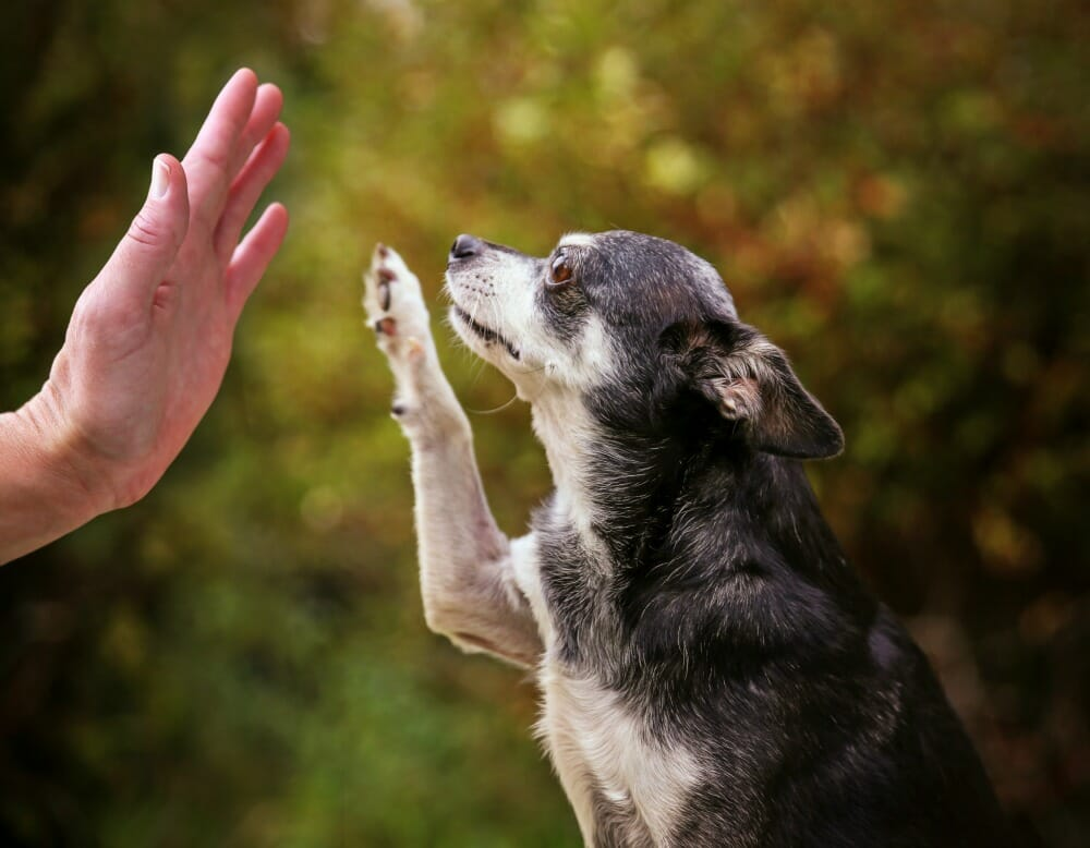 Senior dog giving a high five to a human hand